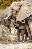 Młody i stary słoń Zdjęcia Royalty Free