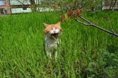 Młody imbirowy kot w zielonej trawie zdjęcia stock