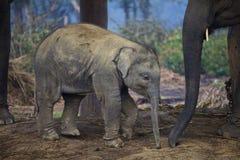 Młody indyjski słoń Obrazy Royalty Free