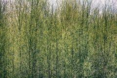 Młody jaskrawy - zieleń liście kwitnęli na drzewach Zdjęcie Royalty Free