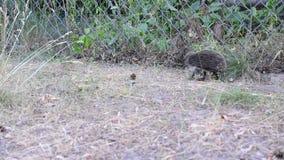 Młody jeż chodzi wzdłuż stalowego drutu kratownicy ogrodzenia zbiory