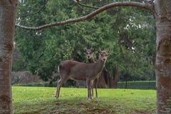 Młody jeleń Patrzeje Nad królicy ramieniem na gazonie zdjęcie stock