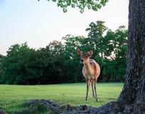 Młody jeleni patrzeć ciekawie na trawiastym polu przy Nara parkiem fotografia royalty free