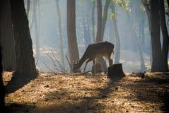 Młody jeleni pozować w lesie Zdjęcia Royalty Free