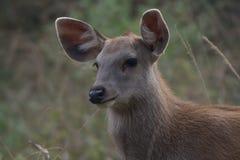 Młody jeleni zakończenie Zdjęcie Royalty Free