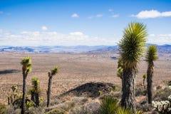Młody Joshua drzewo (jukka Brevifolia); rosnąć przy dużą wysokością; szeroka dolina w tle; Joshua drzewa park narodowy, południe zdjęcie stock
