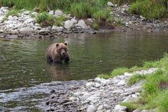 Młody Kamchatka niedźwiedź łowi w rzece w lecie Fotografia Royalty Free