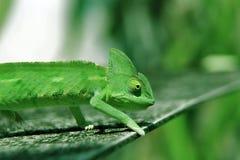 Młody kameleonu kraul na podłoga zdjęcie royalty free