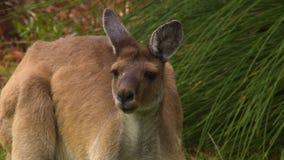 Młody kangur klapie swój ucho zdjęcie wideo