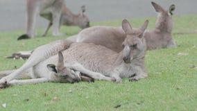 Młody kangur w macierzystej ` s kieszonce, Nagrywającej w dzikim zdjęcie wideo