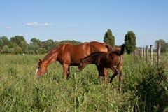 Młody koń i dorosły Obraz Royalty Free