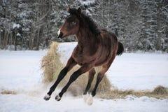 Młody koń z snip na swój nosów skokach radość zdjęcie royalty free