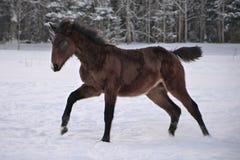Młody koń z snip na swój nosów skokach radość zdjęcia stock