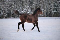 Młody koń z snip na swój nosa bieg wokoło zdjęcie royalty free