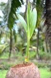 Młody kokosowy drzewo obraz stock