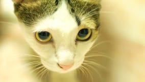 Młody kot ciekawie Czarny I Bia?y kota portret fotografia stock