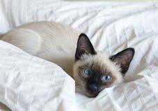 Młody kot, figlarka Siam orientalny traken, bobtail Mekong, kłama na łóżku Zdjęcie Royalty Free
