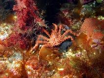 Młody królewiątko krab Obrazy Stock
