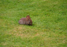 młody królików Fotografia Royalty Free