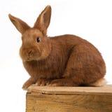 Młody królik na drewnianym pudełku Zdjęcie Stock