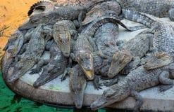 Młody krokodyl żywy w gospodarstwie rolnym Zdjęcie Royalty Free