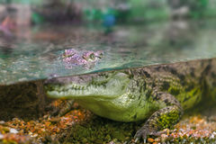 Młody krokodyl gapi się z wody fotografia royalty free