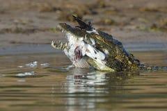 Młody krokodyl z zdobyczem w szczękach Obrazy Royalty Free
