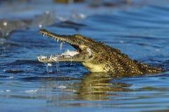 Młody krokodyl z zdobyczem w szczękach Zdjęcie Royalty Free