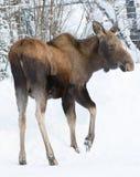 Młody krowa łoś amerykański zdjęcia royalty free