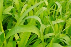 Młody kukurydzy pole, Kukurydzany pole w wczesnego poranku świetle Fotografia Stock