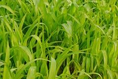 Młody kukurydzy pole, Kukurydzany pole w wczesnego poranku świetle Obraz Royalty Free