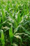 Młody kukurydzy pole, Kukurydzany pole w wczesnego poranku świetle Zdjęcia Stock