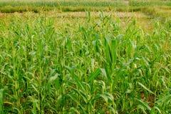 Młody kukurydzy pole, Kukurydzany pole w wczesnego poranku świetle Fotografia Royalty Free
