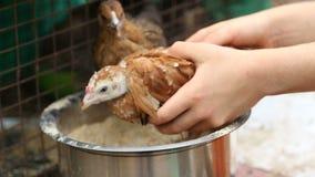 Młody kurczak utrzymujący w klatki łasowania ziarnach od pucharu zbiory