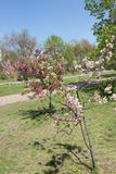 Młody kwitnący jabłoni sapling Zdjęcie Stock