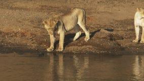 Młody lew bada wodę z swój łapą przy Masai Mara, Kenja zdjęcie wideo