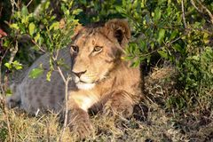 Młody lew chuje w muśnięciu Obrazy Stock
