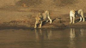 Młody lew myśleć o badać wodę w Masai Mara, Kenja zbiory