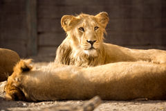 Młody lew podczas popołudnie odpoczynku zdjęcie royalty free
