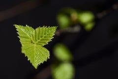 Młody liść Zdjęcie Stock