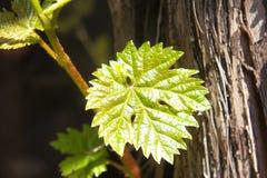 Młody liść winogrono w lata słońcu, świeży krótkopęd Winograd z młodymi liśćmi z bliska fotografia stock