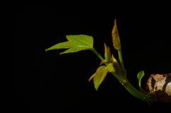 Młody liść z ciemnym tłem Zdjęcie Royalty Free
