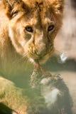 Młody lwa łasowanie Fotografia Stock