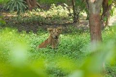 Młody lwa lisiątko zdjęcia stock