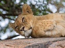 Młody lwa lying on the beach na dużej skale Park Narodowy Kenja Tanzania mara masajów kmieć obraz royalty free