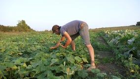 Młody męski średniorolny zrywanie ogórek przy organicznie eco gospodarstwem rolnym zbiory