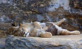 Młody męski Afrykański lew kłaść na skale Obraz Stock