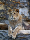 Młody męski Afrykański lew kłaść na skale Obraz Royalty Free