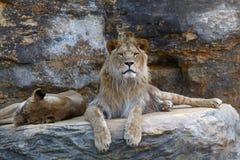Młody męski Afrykański lew kłaść na skale Obrazy Stock