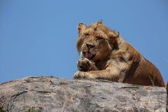 Młody męski Afrykański lew odpoczywa na kopje Obraz Royalty Free